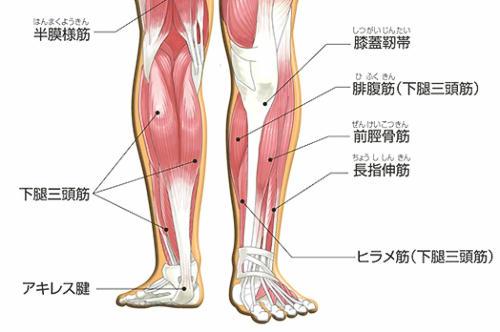 ふくらはぎの筋肉の画像