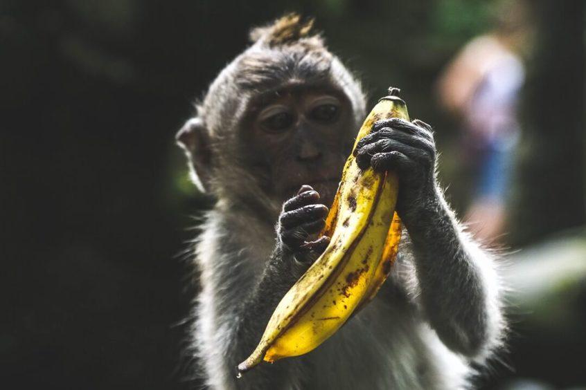 サルがバナナを持っているところ